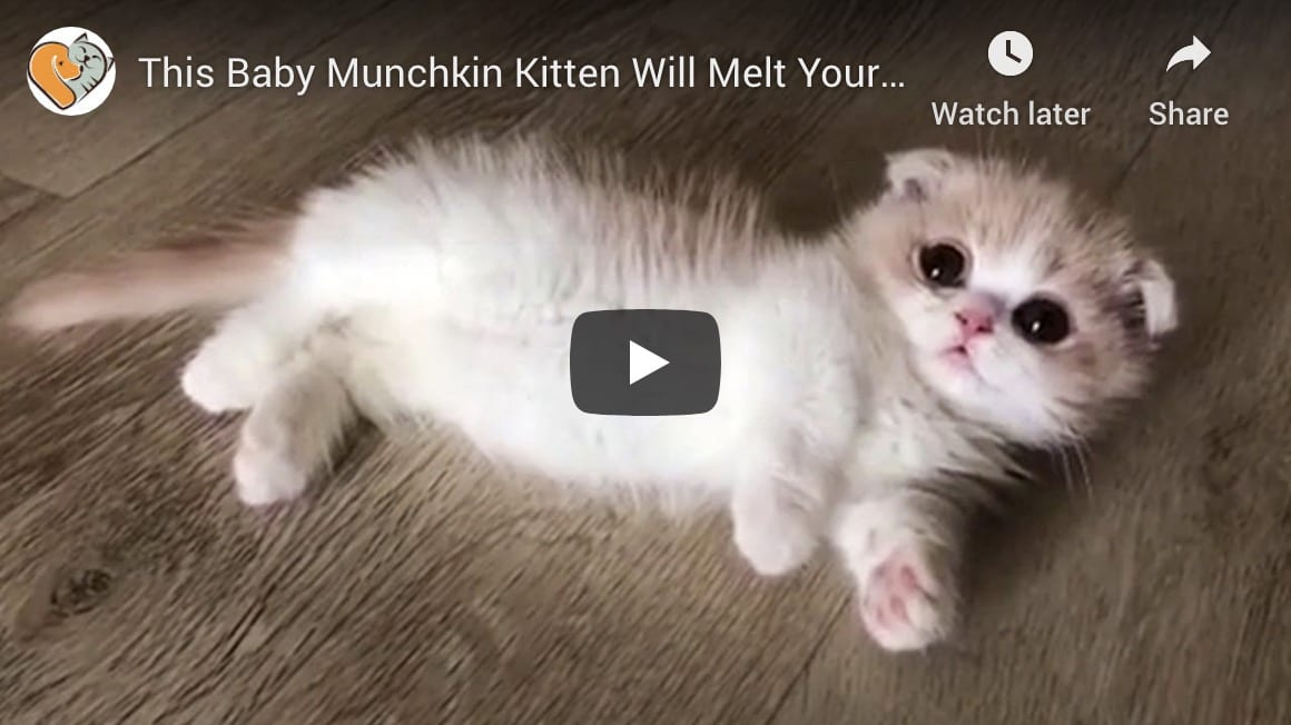 ADORABLE SCOTTISH FOLD MUNCHKIN KITTEN